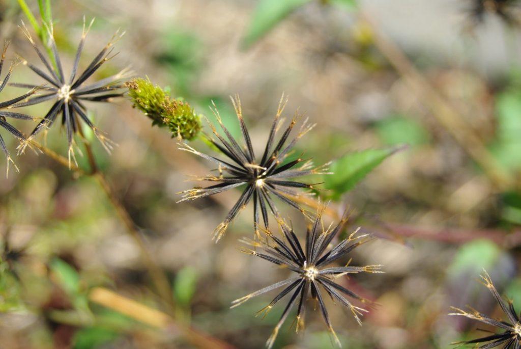 spikey balls of cobbler's pegs seeds