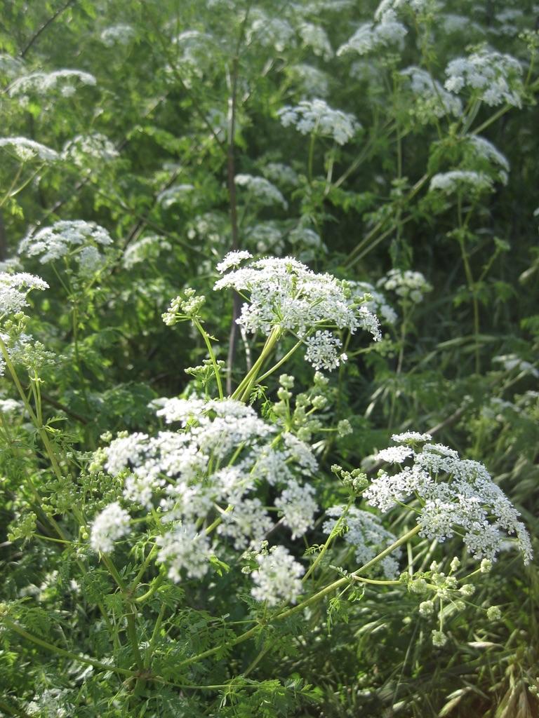 hemlock flowers, white