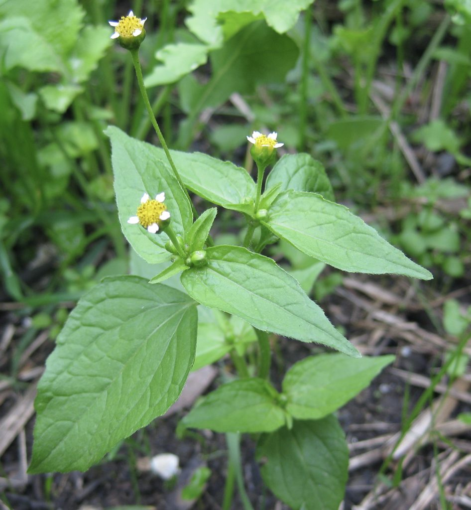 gallant soldier plant
