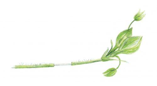 chickweed stem
